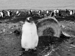 Adele Penguin next to a Whale Vertebrae_Aitcho Island, South Shetland Islands, Antarctic Peninsula
