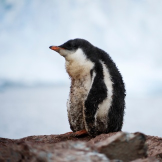 Adele Penguin, Cuverville Island, Antarctica
