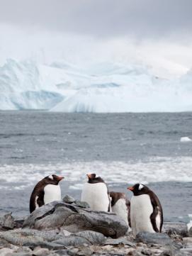Adele Penguins, Cuverville Island, Antarctica
