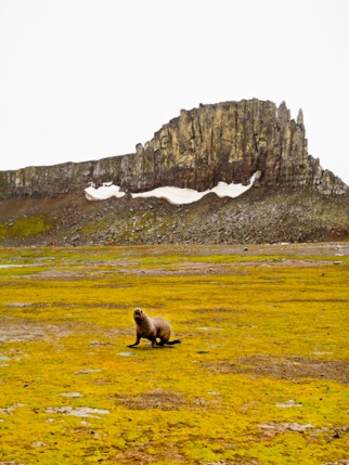 Antarctic Fur Seal, Aitcho Island, South Shetland Islands, Antarctic Peninsula