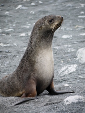 Antarctic Fur Seal, Half Moon Island, South Shetland Islands, Antarctic Peninsula