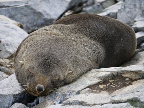 Antarctic Fur Seal, Spigot Point, Antarctica