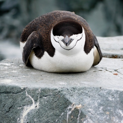 Chinstrap Penguin, Half Moon Island, South Shetland Islands, Antarctic Peninsula