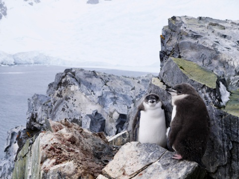 Chinstrap Penguins, Spigot Point, Antarctica