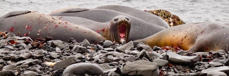 Elephant Seala, Aitcho Island, South Shetland Islands, Antarctic Peninsula