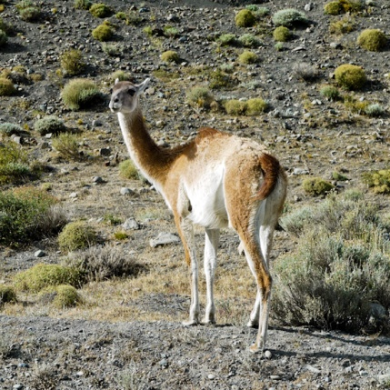 Guanaco, Torres del Paine National Park, Chilean Patagonia