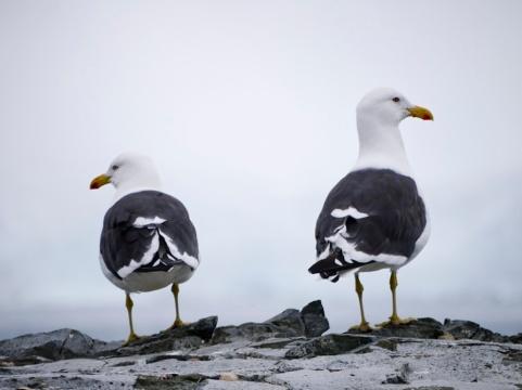 Seagulls, Half Moon Island, Antarctica