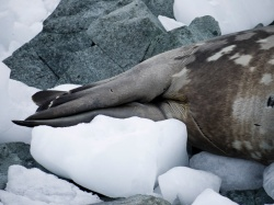 Weddell Seal, Spigot Point, Antarctica