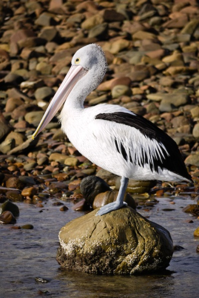 Pelican, Emu Bay, Kangaroo Island