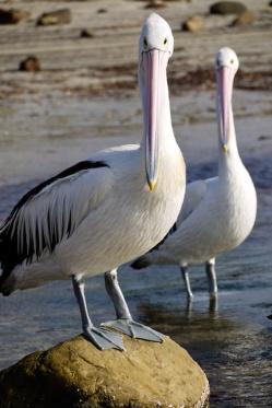 Pelicans, Emu Bay, Kangaroo Island