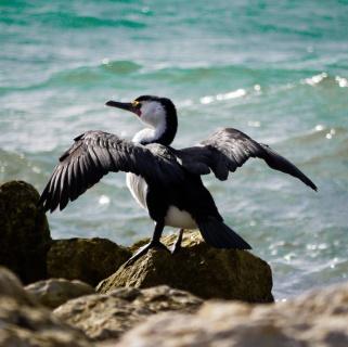 Seabird, Emu Bay, Kangaroo Island_01
