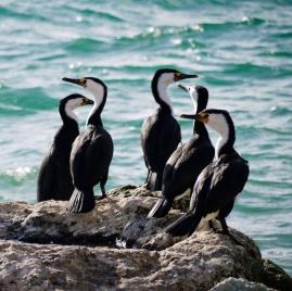 Seabirds, Emu Bay, Kangaroo Island_02