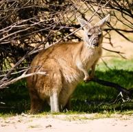 Wallaby, Kalbarri National Park