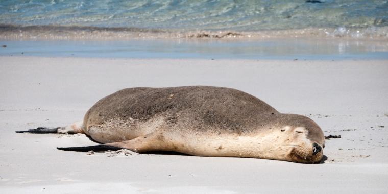New Zealand Fur Seal, Bales Beach, Kangaroo Island, South Australia