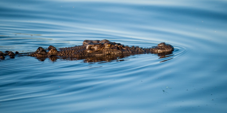 A crocodile creates noise-like ripples in the water, Yellow Water Billabong, Kakadu National Park, Northern Territory