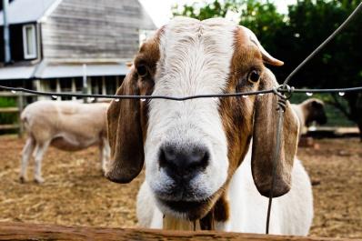 Farm Animals, Pemberton