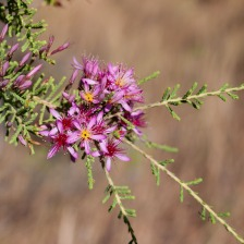 Wildflowers, Gregory National Park, Northern Territory