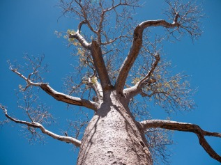 Boab Tree, Gregory National Park, Northern Territory