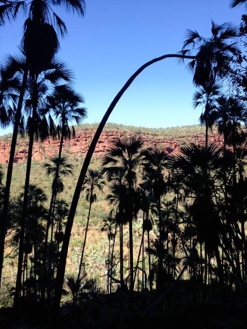 Palm trees on the Nawulbinbin Walk, Gregory National Park, Northern Territory