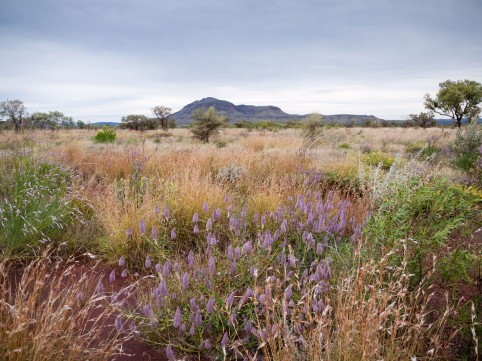 Wildflowers, Mt Bruce, Karijini National Park, Western Australia