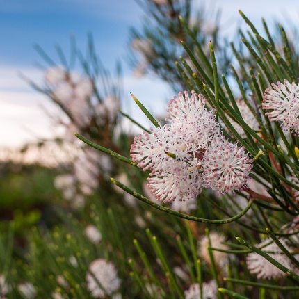 Wildflowers, Cape Le Grand National Park