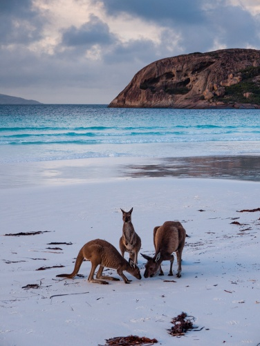 Kangaroos, Lucky Bay, Cape Le Grand National Park