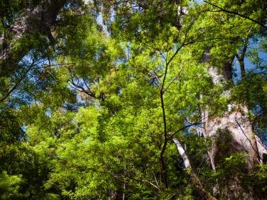 Giant Tingle Tree Walk, Walpole-Nornalup National Park