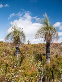 Grass trees, Mt Lindesay, Denmark