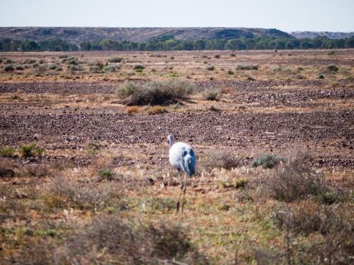 Brolga near Derwent Creek, Mungerannie, Birdsville Track, South Australia
