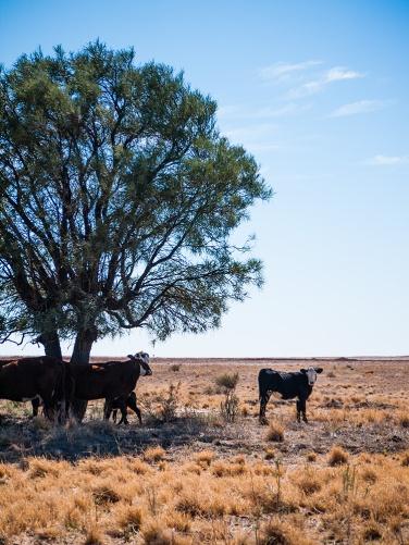 Cattle, Birdsville Track, South Australia