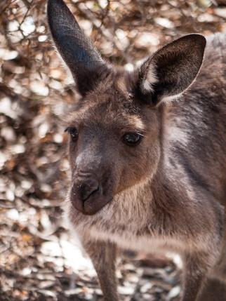 Kangaroo, Flinders Ranges, South Australia