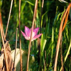 Water Lily, Yellow Water Billabong, Kakadu National Park, Northern Territory