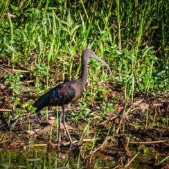 Waterbird, Yellow Water Billabong, Kakadu National Park, Northern Territory
