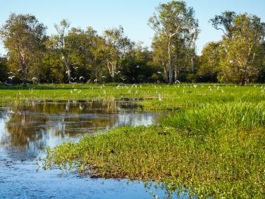 Waterbirds, Yellow Water Billabong, Kakadu National Park, Northern Territory