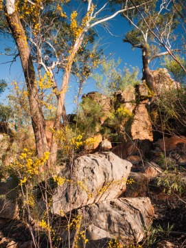 Acacia Flowers, Southern Lost City, Limmen National Park, Northern Territory