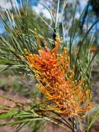 Grevillea Flower, Limmen National Park, Northern Territory