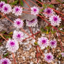 Wildflowers, Windjana Gorge National Park, Western Australia