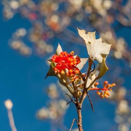 Wildflowers, Dales Gorge, Karijini National Park, Western Australia