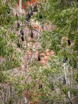 Fruit Bats in Dales Gorge, Karijini National Park, Western Australia