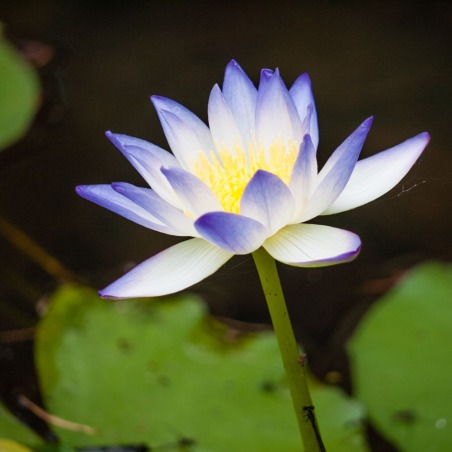 Water Lily, Galvans Gorge, Gibb River Road, Kimberleys, Western Australia