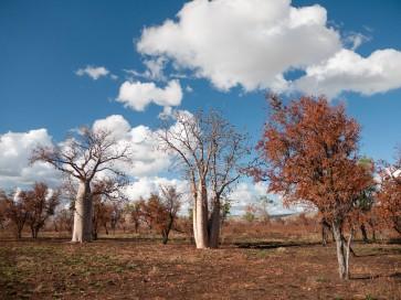 Boab Trees after fire, Mornington Sanctuary, Kimberleys, Western Australia