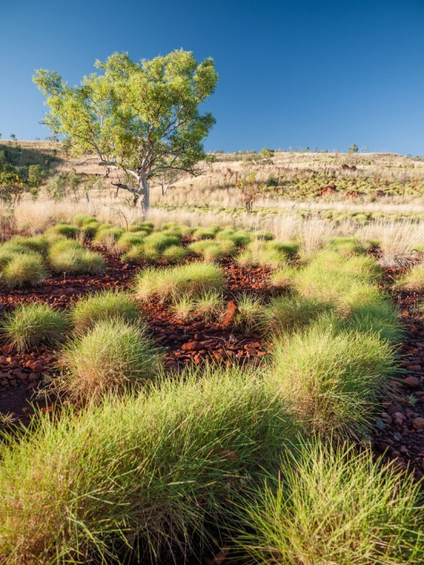 Spinifex at Sunrise, Mornington Sanctuary, Kimberleys, Western Australia