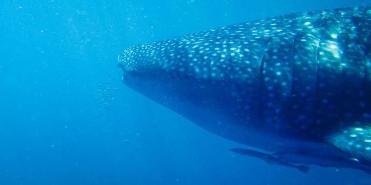 Nationally Protected Whale Shark, Ningaloo Marine Park, Western Australia