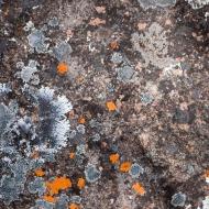 Lichen, Avon Valley National Park, Western Australia