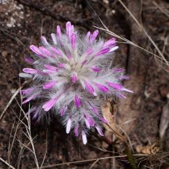 Wildflowers, Avon Valley National Park, Western Australia