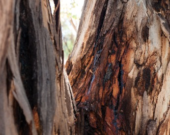 Weeping eucalypt on the banks of the Hotham River near Dwarda, Western Australia