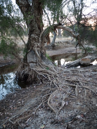 Riverbed roots, Wandering, Western Australia