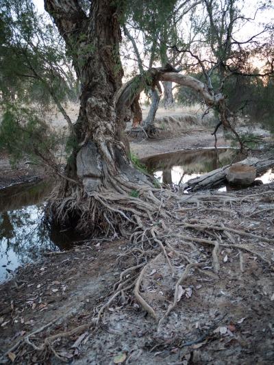 Riverbed roots, Wandering, Western Australia
