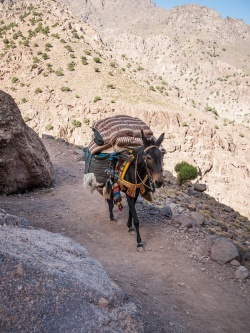 Donkey carrying supplies in Toubkal National Park, Morocco