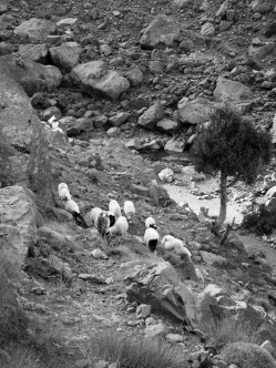 Goats foraging in Toubkal National Park, Morocco